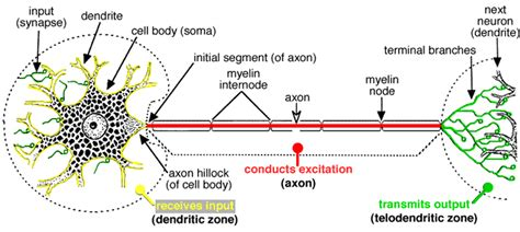 neuron structure  classification ch  nerves audra