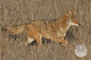 are coyotes color blind havasi wilderness foundation category archive
