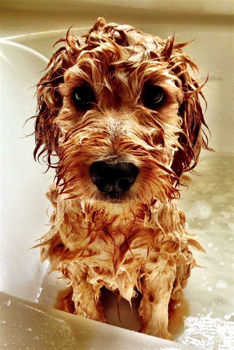 Puppy Bath Goldendoodle Animals And