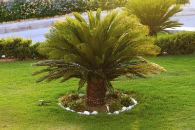outdoor sago palm plants how to care for sago palm outside