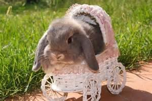coniglio ariete nano alimentazione ariete nano fata perlata la stalla dei conigli