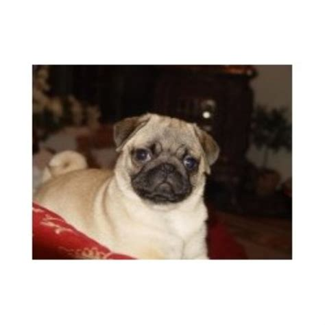 pug rescue kentucky tsuru kennel pug breeder in hopkinsville kentucky listing id 15465