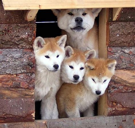 akita inu appartamento cani costosi la top ten foto nanopress