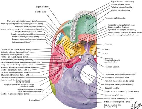 netter s anatomy coloring book 3 base of skull netter anatom 237 a y fisiolog 237 a human