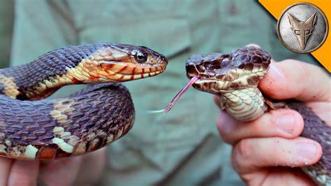vs snake cottonmouth vs water snake