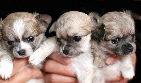 what to get for a puppy chihuahua puppies dogtime