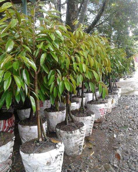 Bibit Durian Bawor Indonesia daftar harga bibit durian