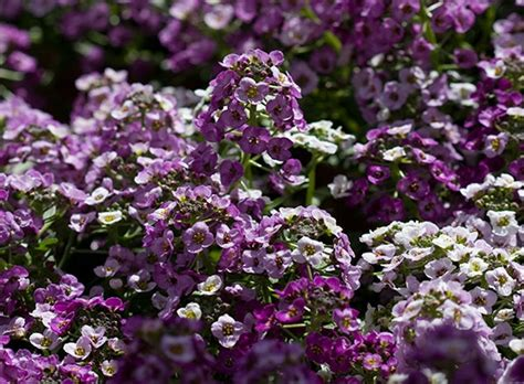 fragrant shade plants 17 best images about shade plants on white