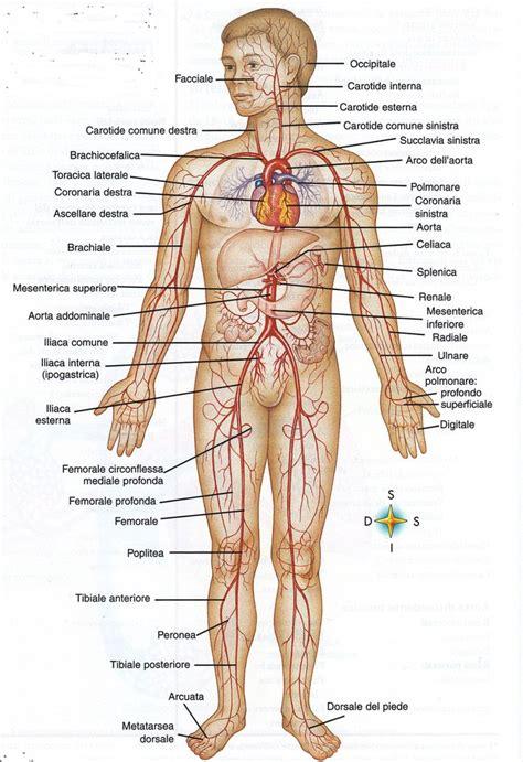 il corpo umano gli organi interni gli organi corpo umano images