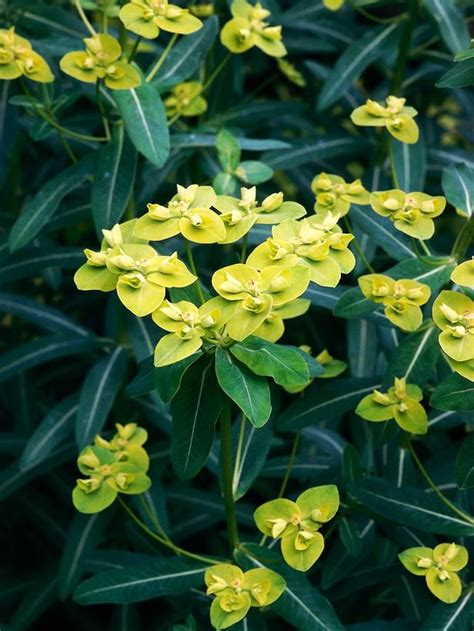 17 best images about euphorbia collection on pinterest