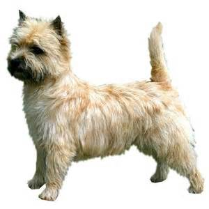 cairn terrier summer haircut cairn terrier dog grooming pinterest