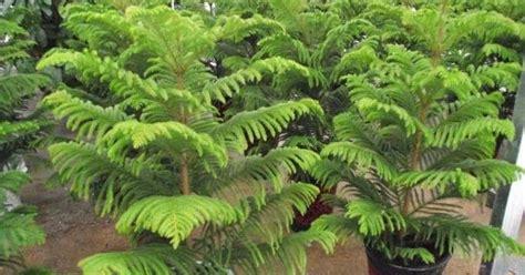 Tanaman Hias Cemara Norflok tanaman hias cemara norfolk nama tanaman