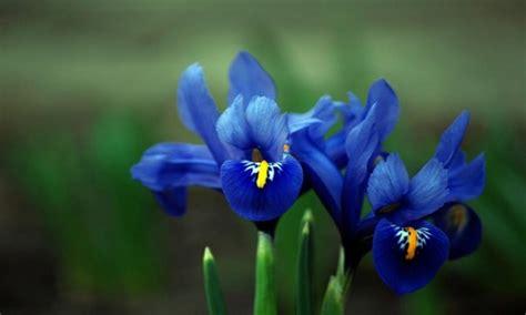 fiori iris significato dei fiori iris radici