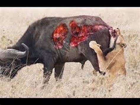wild animal hunting in africa the most wild animals attack