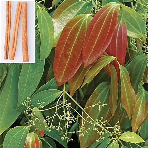 Indoor Fragrant Plants - cinnamon cinnamomum zeylanicum