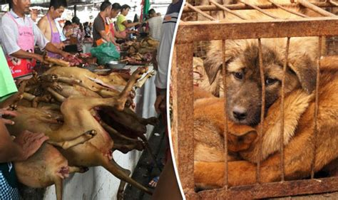 yulin festival 2017 snakes could wipe out from skin disease nature news express co uk