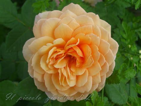 fiori in inglese il piccolo giardino di l una rosa inglese nei toni dell