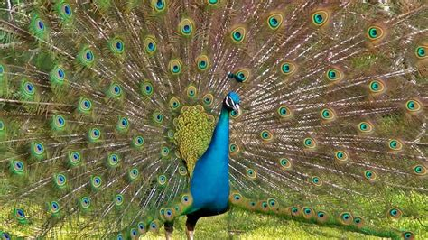 the most magnificent peacock dance display ever peacocks