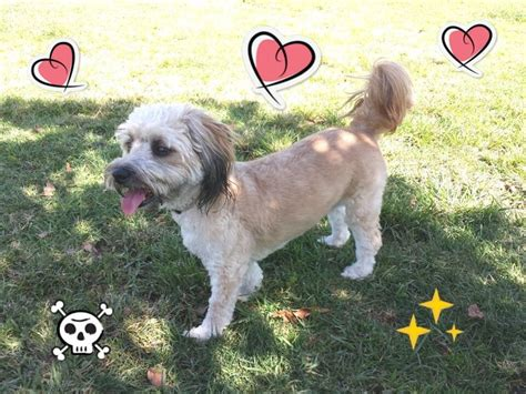 lhasa poodle mix and poodles on pinterest lhasa apso poodle mix ginger love for animals pinterest