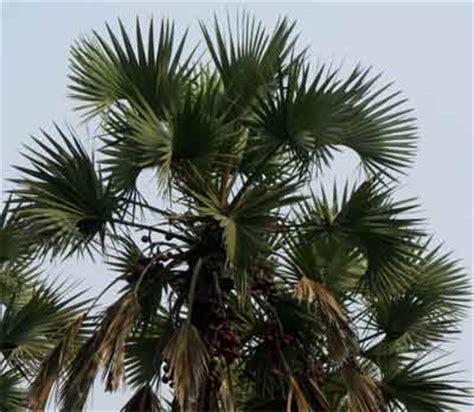 hyphaene dichotoma palmpedia palm grower's guide