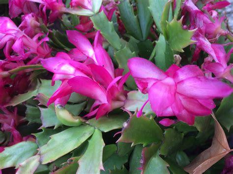 zygocactus schlumbergera common  mixed colours