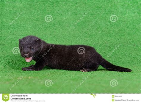 Small Black Black Animal Mink Stock Image Image Of Mustela Fangs