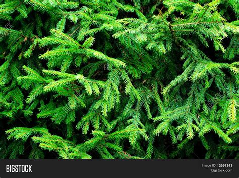 fir green green prickly fir tree branches image photo bigstock