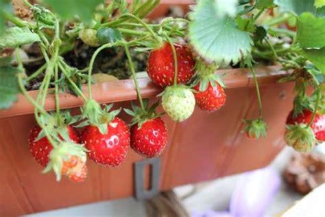 fragole in vaso sul balcone l orto sul balcone 4 piante vi regalano un raccolto