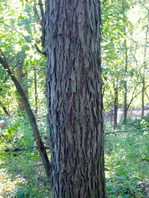 hickory tree pictures facts on hickory trees