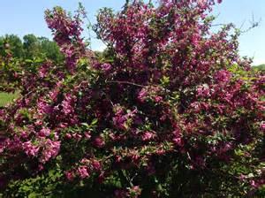 weigela bush spring beauty my photos