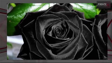 imagenes de flores unicas el misterio las rosas negras de halfeti las unicas en el
