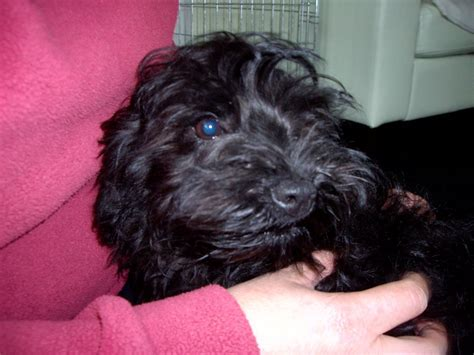 black yorkie puppy terrier x poodle black chichester west sussex pets4homes