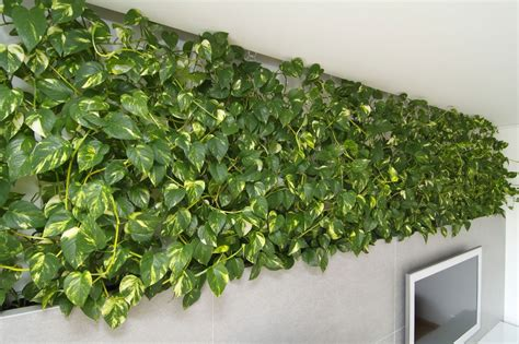 indoor vine plant indoor plant inspiration to transform your space