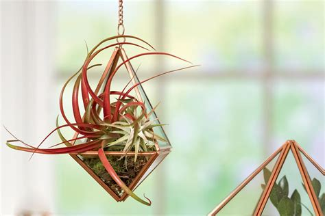 Home Decor Deals how to grow air plants tillandsia gardener s supply