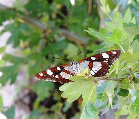 imagenes mariposas libres image gallery ninfa s de mariposas