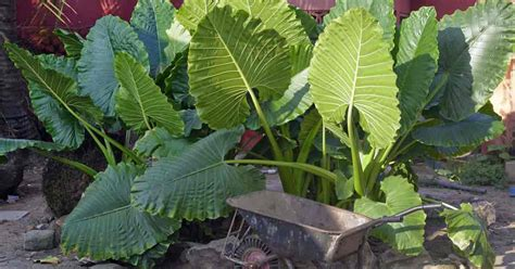 elephant ear plant growing and caring for giant elephant ears