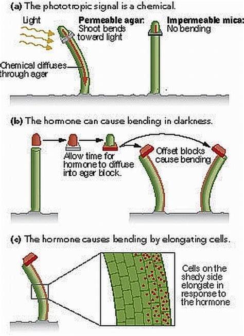 Hormon Auxin norhayatimozac chapter 3 f5 plant hormone