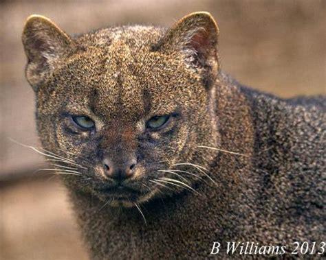 imagenes jaguarundi jaguarundi international society for endangered cats