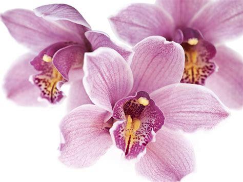 immagini fiori orchidee le rubriche invia fiori e consegna fiori a
