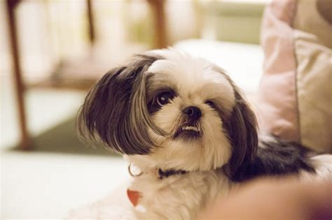 where did shih tzu come from a shih tzu thanksgiving gracie lu shih tzu