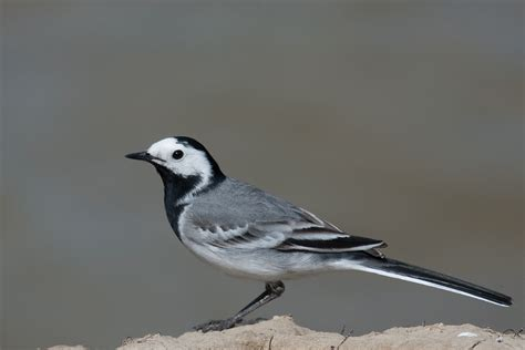 white wagtail latvia national bird wallpapers9