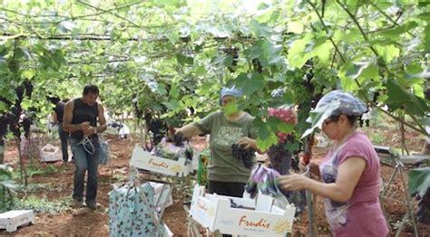 uva da tavola puglia uva da tavola inizia la raccolta in puglia agronotizie