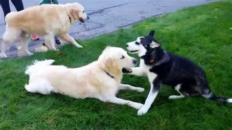 siberian retriever puppies siberian husky puppy plays with two golden retriever brothers