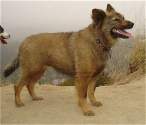 coyote with dogs coydog domestic coyote hybrid info behavior sounds pictures