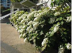 The Stately Oakleaf Hydrangea - Rotary Botanical Gardens Oakleaf Hydrangea Snow Queen