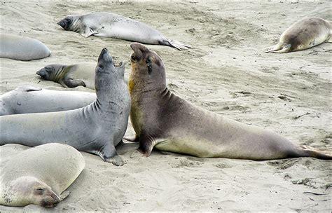 Walrus Vs Elephant Seal by Sea Vs Seal Vs Walrus