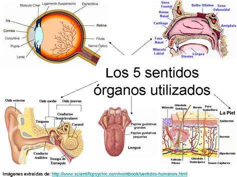 imagenes de organos sensoriales image gallery los sentidos