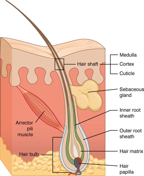 hair diagram anatomy accessory structures of the skin biology i