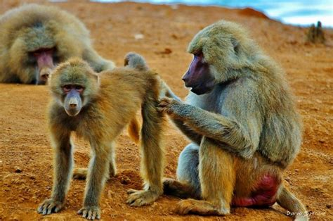 Celana Happy Lucky 180 best baboon mandrill images on feelings