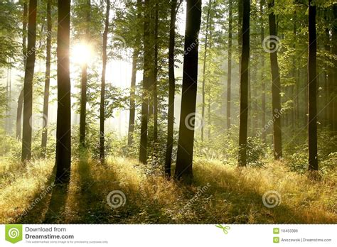 summer forest   early morning stock photo image